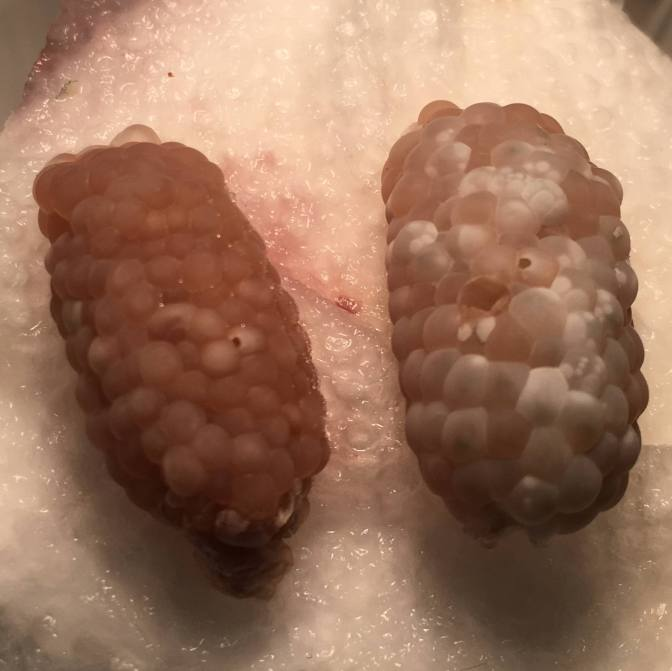 What does an infertile mystery snail egg clutch look like?