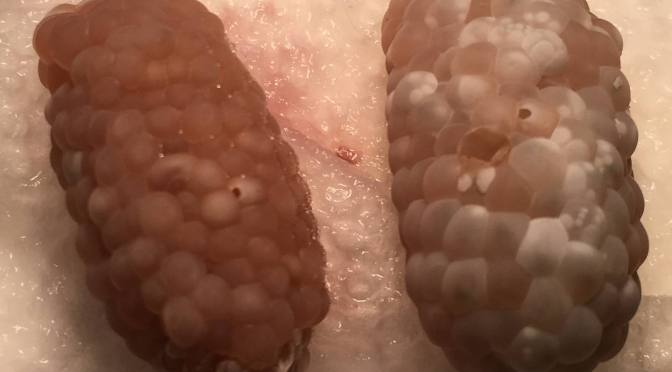 Infertile mystery snail egg clutch on left. Fertile clutch that will hatch within a day or two on the right.