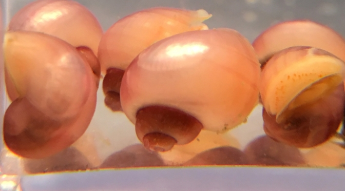 magenta mystery snails for sale