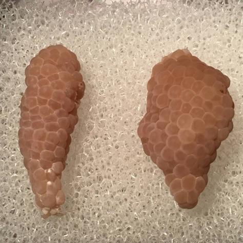 mystery snail eggs