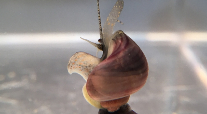 young dark footed purple mystery snail