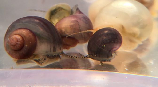 purple mystery snails for sale