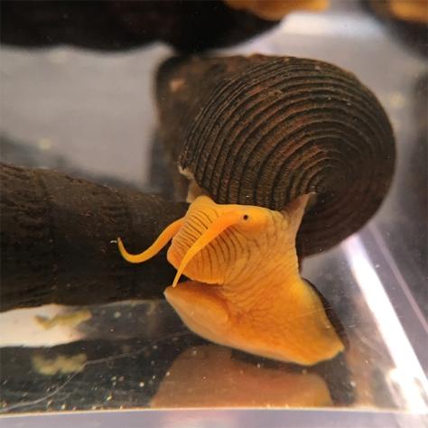 Gorontalo Rabbit Snail