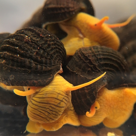 Gorontalo Rabbit Snails