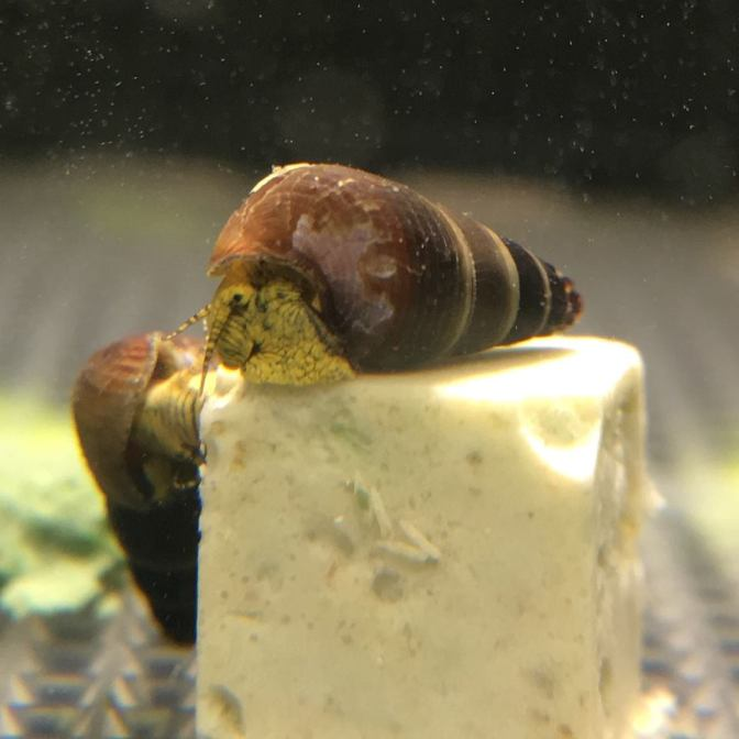 Baby Yellow Rabbit Snails for Sale – Tylomelania / Sulawesi Snails