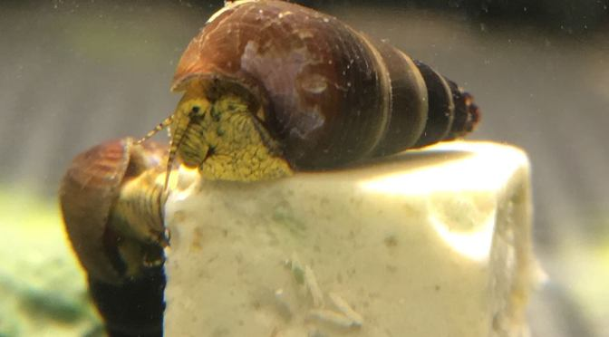 Baby Yellow Rabbit Snails for Sale – Tylomelania / Sulawesi Snailsm