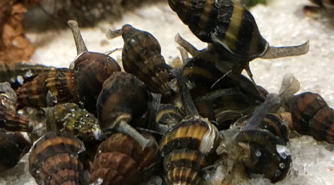 What to feed assassin snails when there are no snails for them to eat