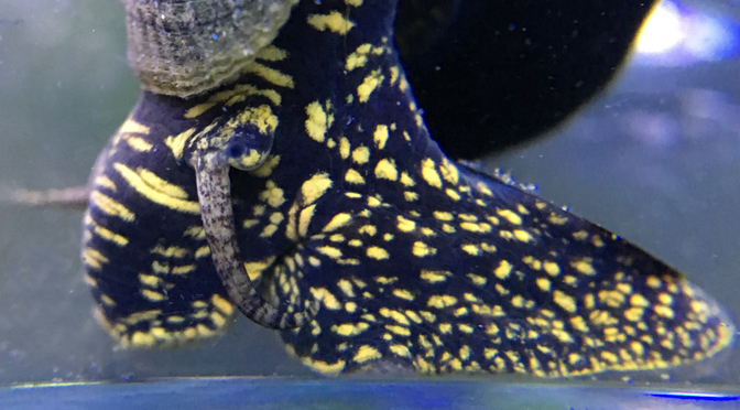 Yellow Spotted Rabbit Snail – Tylomelania / Sulawesi Snails
