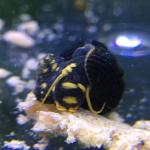 Yellow Spotted Rabbit Snail - tylomelania