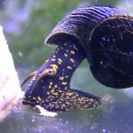 Yellow Spotted Rabbit Snail