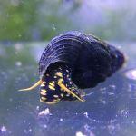 Yellow Spotted Rabbit Snail - tylomelania