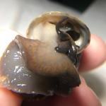 Purple male mystery snail