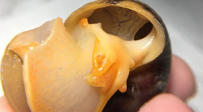 Female Mystery Snail
