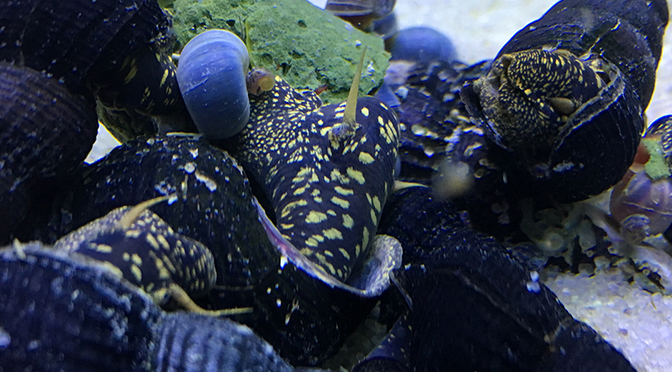 yellow spotted rabbit snails eating snello