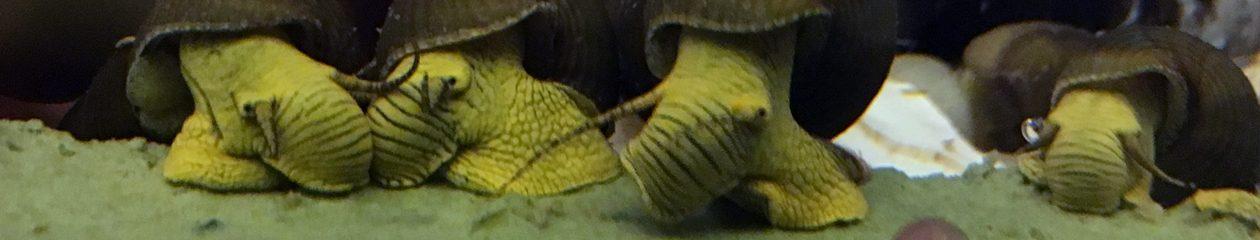 Florida Mystery Snails