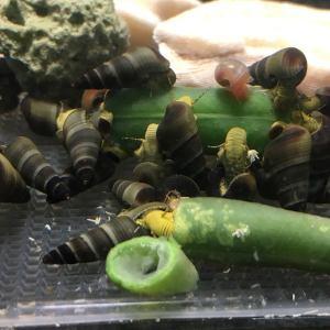 yellow rabbit snails for sale - juveniles - tylomelania