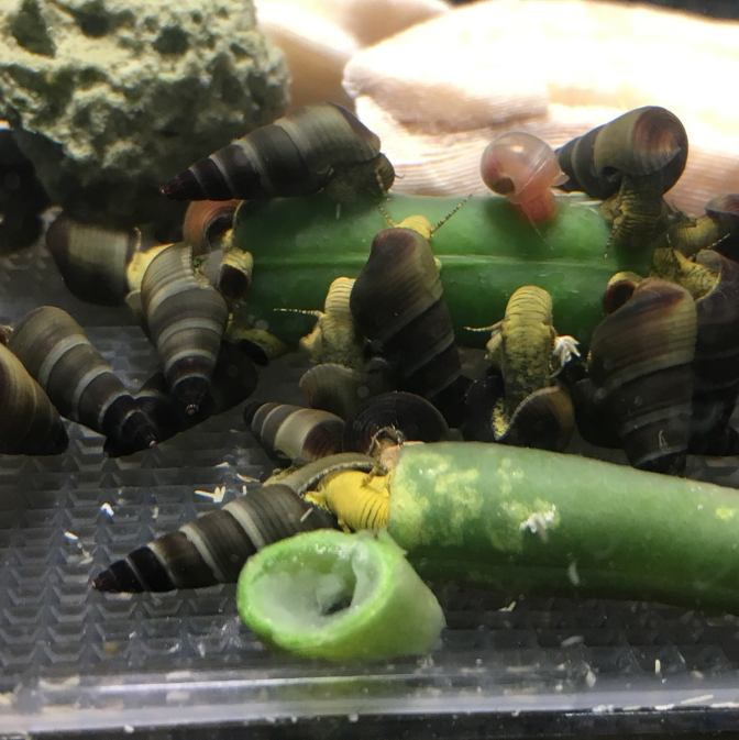 Yellow  Rabbit Snails for Sale – Juveniles