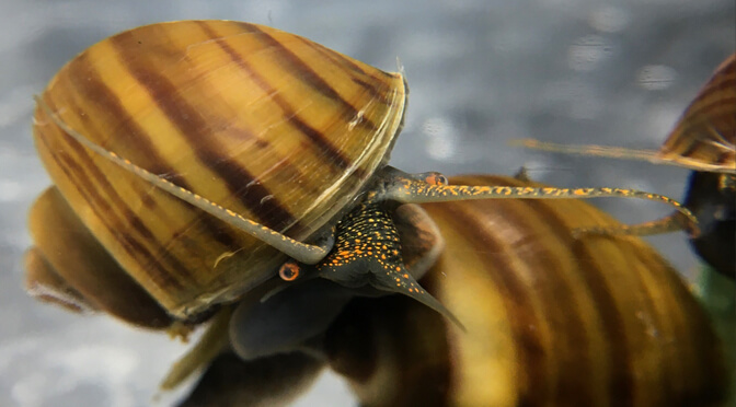 Wild or Dark foot gold striped Mystery Snails?