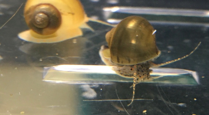 Mystery Snails for sale